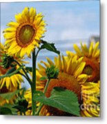 Sunflowers 1 2013 Metal Print by Edward Sobuta