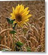 Sunflowers At Corny Metal Print