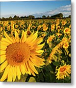 Sunflowers At Dawn Metal Print