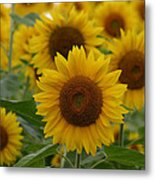 Sunflowers At The Farm Metal Print