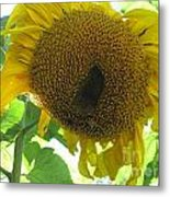 Sunflowers Bee Alaska Metal Print by Elizabeth Stedman