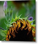 Sunflower's End Metal Print