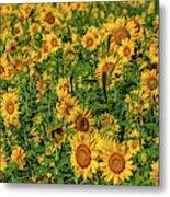 Sunflowers Helianthus Annuus Growing Metal Print