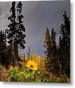 Sunflowers In Northern Garden In Fall Metal Print