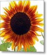 Sunflowers Petals Of Light Metal Print