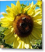 Sunflowers With Bees Harvesting Pollen Metal Print