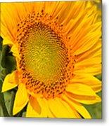Sunkissed Sunflower Metal Print