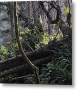 Sunlight Filtering Through An Old-growth Forest Metal Print