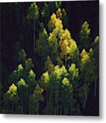 Sunlight Highlights Aspen Trees Metal Print