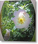 Sunlight On The Wild Pink Rose Metal Print