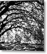 Sunlight Through Spanish Oak Tree - Black And White Metal Print