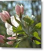 Sunlit Apple Blossoms Metal Print