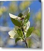 Sunlit Dogwood Blossoms Metal Print