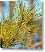 Sunlit Pine Leaders Metal Print