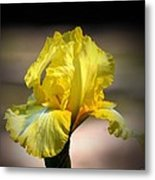 Sunlit Yellow Iris Metal Print