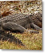 Sunning Alligator. Wetlands Park. Metal Print