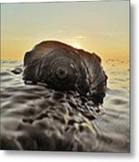Sunrise Conch 9 10/3 Metal Print