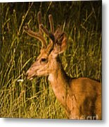 Sunset Buck Metal Print