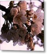 Sunset Cherry Blossoms Metal Print