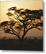 Sunset Through A Silhouetted Acacia Metal Print