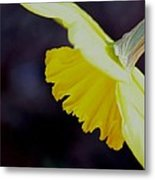 Sunshine Yellow Daffodil Metal Print