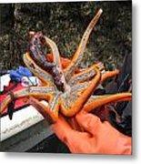 Sunstar Feeds On Sea Cucumber Metal Print