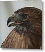 Swainsons Hawk Metal Print