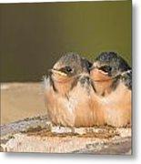 Swallow Chicks Metal Print