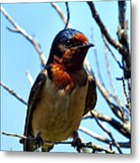Swallow Glance Metal Print