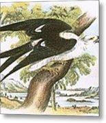 Swallow-tailed Kite Metal Print