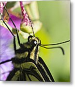 Swallowtail Butterfly Metal Print by Priya Ghose