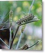 Swallowtail Caterpillars On Dillweed Metal Print