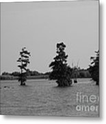 Swamp Tall Cypress Trees Black And White Metal Print