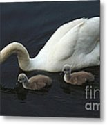Swan And Signets Metal Print