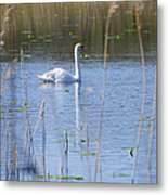 Swan At Derryallen Lough Metal Print