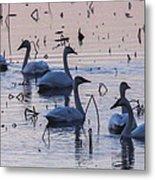Swan At Dusk Metal Print