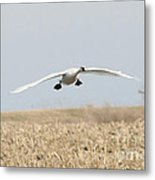 Swan Coming In For A Landing Metal Print