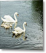Swan Family Metal Print by Jim  Calarese