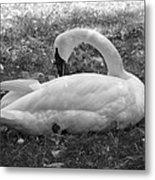Swan Nap Metal Print