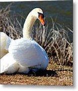 Swan Protects Her Eggs Metal Print