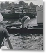 Swan Upping Picturesque Ceremony That Has Not Changed For Metal Print