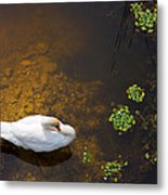 Swan With Sun Reflection On Water. Metal Print
