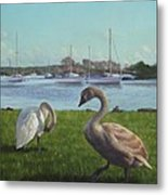 swans at Christchurch harbour Metal Print by Martin Davey