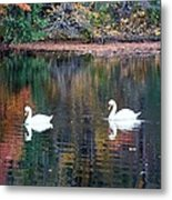 Swans At Betty Allen Metal Print