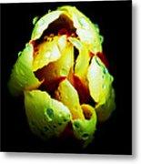 Sweating Tulip Metal Print by Kalvin George