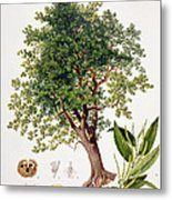 Sweet Chestnut Metal Print by Johann Kautsky