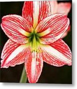 Sweet Lillian Amaryllis Metal Print