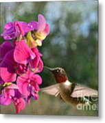 Sweet Pea Hummingbird Metal Print