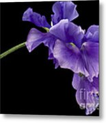 Sweet Pea Study Metal Print by Anne Gilbert