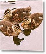 Swimming Ducklings Metal Print